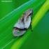 Lepyronia coleoptrata - Putinė cikada | Fotografijos autorius : Romas Ferenca | © Macrogamta.lt | Šis tinklapis priklauso bendruomenei kuri domisi makro fotografija ir fotografuoja gyvąjį makro pasaulį.