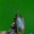 Viržinis rusvys - Lochmaea suturalis | Fotografijos autorius : Romas Ferenca | © Macrogamta.lt | Šis tinklapis priklauso bendruomenei kuri domisi makro fotografija ir fotografuoja gyvąjį makro pasaulį.