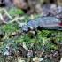 Šeriaūsis žygis - Loricera pilicornis | Fotografijos autorius : Romas Ferenca | © Macrogamta.lt | Šis tinklapis priklauso bendruomenei kuri domisi makro fotografija ir fotografuoja gyvąjį makro pasaulį.