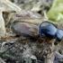 Afodijus - Melinopterus prodromus | Fotografijos autorius : Romas Ferenca | © Macrogamta.lt | Šis tinklapis priklauso bendruomenei kuri domisi makro fotografija ir fotografuoja gyvąjį makro pasaulį.
