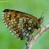 Melitaea athalia - Paprastoji šaškytė | Fotografijos autorius : Romas Ferenca | © Macrogamta.lt | Šis tinklapis priklauso bendruomenei kuri domisi makro fotografija ir fotografuoja gyvąjį makro pasaulį.