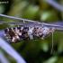 Pelkinis fiaris - Phiaris palustrana  | Fotografijos autorius : Romas Ferenca | © Macrogamta.lt | Šis tinklapis priklauso bendruomenei kuri domisi makro fotografija ir fotografuoja gyvąjį makro pasaulį.