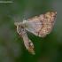 Geltonasis žiedvoris - Misumena vatia | Fotografijos autorius : Romas Ferenca | © Macrogamta.lt | Šis tinklapis priklauso bendruomenei kuri domisi makro fotografija ir fotografuoja gyvąjį makro pasaulį.