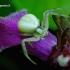Misumena vatia - Geltonasis žiedvoris | Fotografijos autorius : Romas Ferenca | © Macrogamta.lt | Šis tinklapis priklauso bendruomenei kuri domisi makro fotografija ir fotografuoja gyvąjį makro pasaulį.