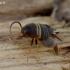 Europinis skruzdėlinukas - Myrmecophilus acervorum | Fotografijos autorius : Romas Ferenca | © Macrogamta.lt | Šis tinklapis priklauso bendruomenei kuri domisi makro fotografija ir fotografuoja gyvąjį makro pasaulį.