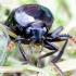 Juodasis maitvabalis - Necrodes littoralis | Fotografijos autorius : Romas Ferenca | © Macrogamta.lt | Šis tinklapis priklauso bendruomenei kuri domisi makro fotografija ir fotografuoja gyvąjį makro pasaulį.