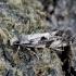 Grybinė kandis - Nemapogon variatella | Fotografijos autorius : Romas Ferenca | © Macrogamta.lt | Šis tinklapis priklauso bendruomenei kuri domisi makro fotografija ir fotografuoja gyvąjį makro pasaulį.