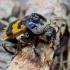 Paprastasis duobkasys - Nicrophorus vespillo | Fotografijos autorius : Romas Ferenca | © Macrogamta.lt | Šis tinklapis priklauso bendruomenei kuri domisi makro fotografija ir fotografuoja gyvąjį makro pasaulį.