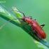 Drebulinis rusvūnas - Obrium cantharinum  | Fotografijos autorius : Romas Ferenca | © Macrogamta.lt | Šis tinklapis priklauso bendruomenei kuri domisi makro fotografija ir fotografuoja gyvąjį makro pasaulį.
