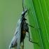 Laibavabalis - Oedemera virescens | Fotografijos autorius : Romas Ferenca | © Macrogamta.lt | Šis tinklapis priklauso bendruomenei kuri domisi makro fotografija ir fotografuoja gyvąjį makro pasaulį.