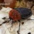 Oiceoptoma thoracicum - Raudonnugaris maitvabalis | Fotografijos autorius : Romas Ferenca | © Macrogamta.lt | Šis tinklapis priklauso bendruomenei kuri domisi makro fotografija ir fotografuoja gyvąjį makro pasaulį.