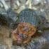 Raudonnugaris maitvabalis - Oiceoptoma thoracicum | Fotografijos autorius : Romas Ferenca | © Macrogamta.lt | Šis tinklapis priklauso bendruomenei kuri domisi makro fotografija ir fotografuoja gyvąjį makro pasaulį.