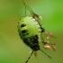 Palomena prasina - Medinė skydblakė | Fotografijos autorius : Romas Ferenca | © Macrogamta.lt | Šis tinklapis priklauso bendruomenei kuri domisi makro fotografija ir fotografuoja gyvąjį makro pasaulį.