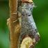 Tošinis kuoduotis - Phalera bucephala | Fotografijos autorius : Romas Ferenca | © Macrogamta.lt | Šis tinklapis priklauso bendruomenei kuri domisi makro fotografija ir fotografuoja gyvąjį makro pasaulį.