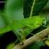 Phaneroptera falcata - Lakštasparnis pjūklius | Fotografijos autorius : Romas Ferenca | © Macrogamta.lt | Šis tinklapis priklauso bendruomenei kuri domisi makro fotografija ir fotografuoja gyvąjį makro pasaulį.