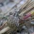 Pajūrinis straubliukas - Philopedon plagiatus | Fotografijos autorius : Romas Ferenca | © Macrogamta.lt | Šis tinklapis priklauso bendruomenei kuri domisi makro fotografija ir fotografuoja gyvąjį makro pasaulį.