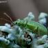 Phyllobius arborator - Šeriuotasis lapinukas | Fotografijos autorius : Romas Ferenca | © Macrogamta.lt | Šis tinklapis priklauso bendruomenei kuri domisi makro fotografija ir fotografuoja gyvąjį makro pasaulį.