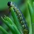 Pjūklelis - Diprion sp. lerva | Fotografijos autorius : Romas Ferenca | © Macrogamta.lt | Šis tinklapis priklauso bendruomenei kuri domisi makro fotografija ir fotografuoja gyvąjį makro pasaulį.