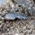 Paprastasis juodžygis - Platynus assimilis | Fotografijos autorius : Romas Ferenca | © Macrogamta.lt | Šis tinklapis priklauso bendruomenei kuri domisi makro fotografija ir fotografuoja gyvąjį makro pasaulį.