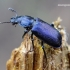 Platycerus caraboides - Žygiškasis elniavabalis | Fotografijos autorius : Romas Ferenca | © Macrogamta.lt | Šis tinklapis priklauso bendruomenei kuri domisi makro fotografija ir fotografuoja gyvąjį makro pasaulį.