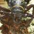 Prionus coriarius - Pjūklaūsis kelmagraužis | Fotografijos autorius : Romas Ferenca | © Macrogamta.lt | Šis tinklapis priklauso bendruomenei kuri domisi makro fotografija ir fotografuoja gyvąjį makro pasaulį.