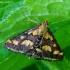 Mėtinė pyrausta - Pyrausta purpuralis | Fotografijos autorius : Romas Ferenca | © Macrogamta.lt | Šis tinklapis priklauso bendruomenei kuri domisi makro fotografija ir fotografuoja gyvąjį makro pasaulį.