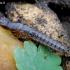 Trumpasparnis - Quedius sp. , lerva | Fotografijos autorius : Romas Ferenca | © Macrogamta.lt | Šis tinklapis priklauso bendruomenei kuri domisi makro fotografija ir fotografuoja gyvąjį makro pasaulį.