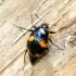 Keturdėmis valtvabalis - Scaphidium quadrimaculatum   Fotografijos autorius : Romas Ferenca   © Macrogamta.lt   Šis tinklapis priklauso bendruomenei kuri domisi makro fotografija ir fotografuoja gyvąjį makro pasaulį.