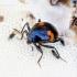 Scaphidium quadrimaculatum - Keturdėmis valtvabalis | Fotografijos autorius : Romas Ferenca | © Macrogamta.lt | Šis tinklapis priklauso bendruomenei kuri domisi makro fotografija ir fotografuoja gyvąjį makro pasaulį.
