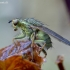 Scathophaga stercoraria – Geltonoji mėšlamusė   Fotografijos autorius : Romas Ferenca   © Macrogamta.lt   Šis tinklapis priklauso bendruomenei kuri domisi makro fotografija ir fotografuoja gyvąjį makro pasaulį.