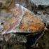 Gluosninis žieminukas - Scoliopteryx libatrix | Fotografijos autorius : Romas Ferenca | © Macrogamta.lt | Šis tinklapis priklauso bendruomenei kuri domisi makro fotografija ir fotografuoja gyvąjį makro pasaulį.
