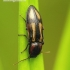 Selatosomus cruciatus - Kryžiuotasis rugiaspragšis | Fotografijos autorius : Romas Ferenca | © Macrogamta.lt | Šis tinklapis priklauso bendruomenei kuri domisi makro fotografija ir fotografuoja gyvąjį makro pasaulį.