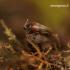 Sepedophilus marshami - Trumpasparnis   Fotografijos autorius : Romas Ferenca   © Macrogamta.lt   Šis tinklapis priklauso bendruomenei kuri domisi makro fotografija ir fotografuoja gyvąjį makro pasaulį.