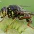 Žiedmusė - Spilomyia diophthalma | Fotografijos autorius : Romas Ferenca | © Macrogamta.lt | Šis tinklapis priklauso bendruomenei kuri domisi makro fotografija ir fotografuoja gyvąjį makro pasaulį.