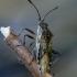 Ryškiapilvė kampuotblakė - Stictopleurus punctatonervosus | Fotografijos autorius : Romas Ferenca | © Macrogamta.lt | Šis tinklapis priklauso bendruomenei kuri domisi makro fotografija ir fotografuoja gyvąjį makro pasaulį.
