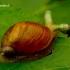 Succinea putris - Didžioji gintarė | Fotografijos autorius : Romas Ferenca | © Macrogamta.lt | Šis tinklapis priklauso bendruomenei kuri domisi makro fotografija ir fotografuoja gyvąjį makro pasaulį.