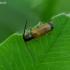 Slyvinis ūsuotėlis - Tetrops praeustus | Fotografijos autorius : Romas Ferenca | © Macrogamta.lt | Šis tinklapis priklauso bendruomenei kuri domisi makro fotografija ir fotografuoja gyvąjį makro pasaulį.