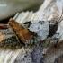 Tetrix tenuicornis - Ilgaūsis šokliukas | Fotografijos autorius : Romas Ferenca | © Macrogamta.lt | Šis tinklapis priklauso bendruomenei kuri domisi makro fotografija ir fotografuoja gyvąjį makro pasaulį.
