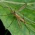 Pelkinis ilgakojis uodas - Tipula paludosa | Fotografijos autorius : Romas Ferenca | © Macrogamta.lt | Šis tinklapis priklauso bendruomenei kuri domisi makro fotografija ir fotografuoja gyvąjį makro pasaulį.