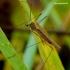 Dicranomyia sp. - Ilgakojis uodas | Fotografijos autorius : Romas Ferenca | © Macrogamta.lt | Šis tinklapis priklauso bendruomenei kuri domisi makro fotografija ir fotografuoja gyvąjį makro pasaulį.