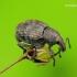 Tropiphorus elevatus - Laiškeninis straubliukas | Fotografijos autorius : Romas Ferenca | © Macrogamta.lt | Šis tinklapis priklauso bendruomenei kuri domisi makro fotografija ir fotografuoja gyvąjį makro pasaulį.