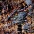 Juodajuostis skylūnėlis - Metellina merianae | Fotografijos autorius : Romas Ferenca | © Macrogamta.lt | Šis tinklapis priklauso bendruomenei kuri domisi makro fotografija ir fotografuoja gyvąjį makro pasaulį.