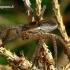 Dolomedes fimbriatus - Juostuotasis plūdvoris   Fotografijos autorius : Romas Ferenca   © Macrogamta.lt   Šis tinklapis priklauso bendruomenei kuri domisi makro fotografija ir fotografuoja gyvąjį makro pasaulį.