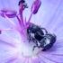 Snaputinis straubliukas - Zacladus geranii | Fotografijos autorius : Romas Ferenca | © Macrogamta.lt | Šis tinklapis priklauso bendruomenei kuri domisi makro fotografija ir fotografuoja gyvąjį makro pasaulį.