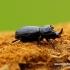 Sinodendron cylindricum - Cilindriškasis elniavabalis   Fotografijos autorius : Romas Ferenca   © Macrogamta.lt   Šis tinklapis priklauso bendruomenei kuri domisi makro fotografija ir fotografuoja gyvąjį makro pasaulį.