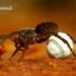 Pardosa lugubris s.str. - Paprastasis šuolininkas | Fotografijos autorius : Romas Ferenca | © Macrogamta.lt | Šis tinklapis priklauso bendruomenei kuri domisi makro fotografija ir fotografuoja gyvąjį makro pasaulį.