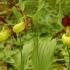 Plačialapė klumpaitė - Cypripedium calceolus | Fotografijos autorius : Deividas Makavičius | © Macrogamta.lt | Šis tinklapis priklauso bendruomenei kuri domisi makro fotografija ir fotografuoja gyvąjį makro pasaulį.