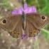 Lasiommata maera - Rudasis satyras | Fotografijos autorius : Deividas Makavičius | © Macrogamta.lt | Šis tinklapis priklauso bendruomenei kuri domisi makro fotografija ir fotografuoja gyvąjį makro pasaulį.