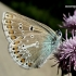 Baltajuostis melsvys - Eumedonia eumedon | Fotografijos autorius : Deividas Makavičius | © Macrogamta.lt | Šis tinklapis priklauso bendruomenei kuri domisi makro fotografija ir fotografuoja gyvąjį makro pasaulį.