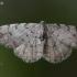 Mažasis žievėsprindis - Aethalura punctulata | Fotografijos autorius : Deividas Makavičius | © Macrogamta.lt | Šis tinklapis priklauso bendruomenei kuri domisi makro fotografija ir fotografuoja gyvąjį makro pasaulį.